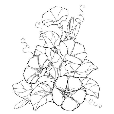 輪郭Ipomoeaまたは朝顔の花の鐘、白い背景に隔離された黒の葉と芽と花束。夏のデザインと塗り絵のための輪郭スタイルの多年生の登山植物。
