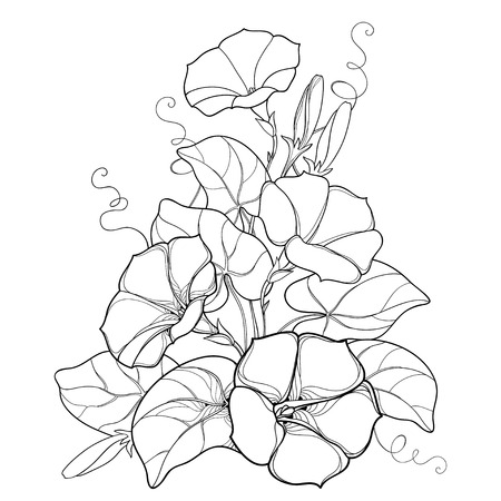 Bouquet with outline Ipomoea or Morning glory flower bell, leaf and bud in black isolated on white background. Perennial climbing plant in contour style for summer design and coloring book.