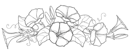 Bunch with outline Ipomoea or Morning glory flower bell, leaf and bud in black isolated on white background. Perennial climbing plant in contour style for summer design and coloring book.
