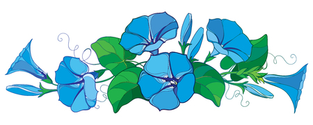 Horizontal bunch with outline Ipomoea or Morning glory flower bell in pastel blue, green leaf and bud isolated on white background. Perennial climbing plant in contour style for summer design.