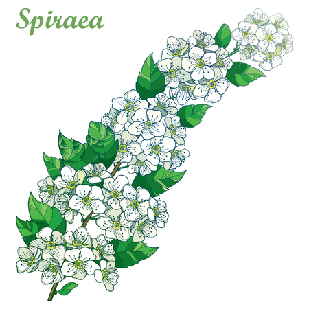 Branch with outline Spiraea or Spirea flower, leaves and bunch in pastel white and green isolated on white background. Blooming ornamental plant Spiraea in contour style for spring design.