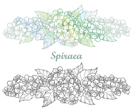 Horizontal composition with outline Spiraea or Spirea flower bunch and leaves in black and pastel isolated on white background. Blossoming contour Spiraea for spring design or coloring book.