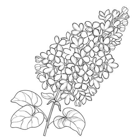 Branch with outline Lilac or Syringa flower bunch and ornate leaves in black isolated on white background. Blossoming garden plant Lilac in contour style for spring design and coloring book. Vettoriali