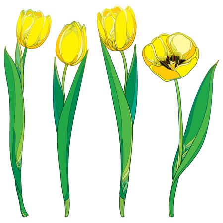 Set with outline yellow tulip flowers and ornate green leaves isolated on white background. Ornate floral template with contour yellow tulips for spring design, greeting card or invitation. Ilustração
