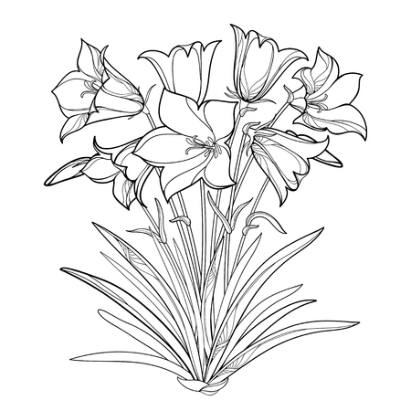Bouquet with outline Alpine campanula flower or Bellflower of Alps, bud and ornate leaf isolated on white background. Contour Alpine mountain flower for summer design or coloring book.
