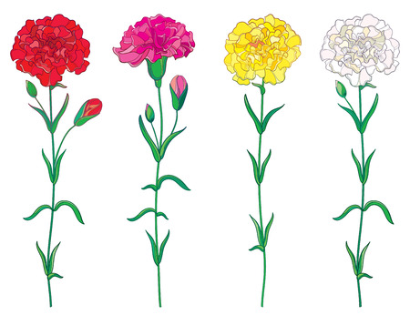 Set with outline red, pink, pastel white and yellow Carnation or Clove flower, bud and leaf isolated on white background.