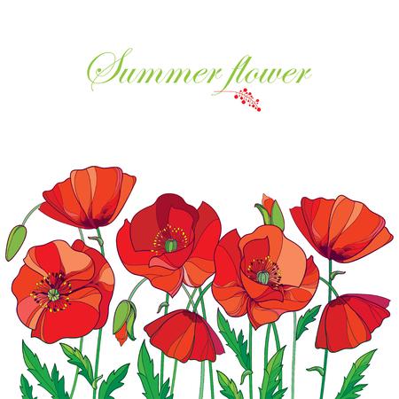 Composición con contorno rojo Amapola o Papaver flor, brote y hojas verdes aisladas sobre fondo blanco.