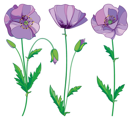 Set with outline lilac Poppy or Papaver flower, bud and green leaves isolated on white background. Stock Illustratie