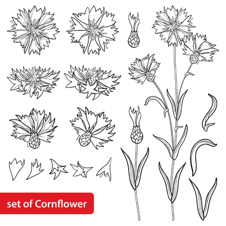 Set with outline Cornflower or Knapweed or Centaurea flower bunch, bud and leaf in black isolated on white background.