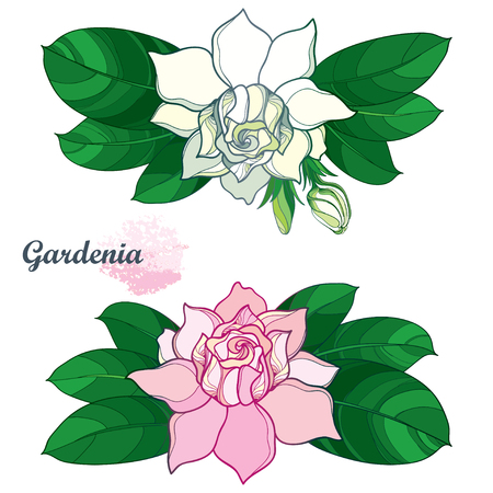 Outline pink and white Gardenia flower bunch, bud and ornate green leaves isolated on white background. Branch with tropical fragrant plant.