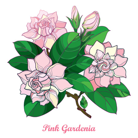 Outline of pink gardenia flower bouquet, bud and ornate green leaves isolated on white background. Branch with tropical fragrant plant. Illustration