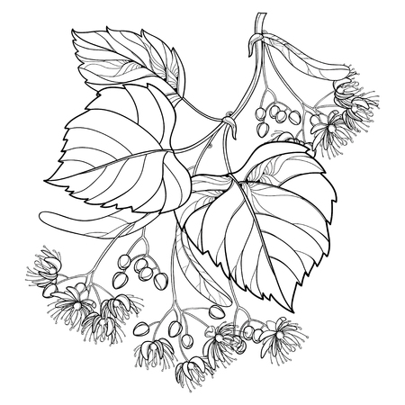 Linden branch in contour style for summer design and coloring book.
