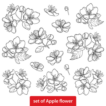 Set with outline blossoming Apple flower bunch and foliage in black isolated on white background. Ornate blossom Apple flowers and leaves in contour style for spring design and coloring book.