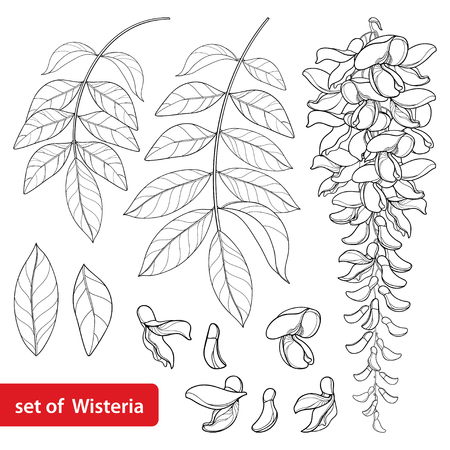 Set of outline Wisteria or Wistaria flower bunch, bud and leaves in black isolated on white background. Ornamental climbing plant Wisteria in contour style for spring design or coloring book.