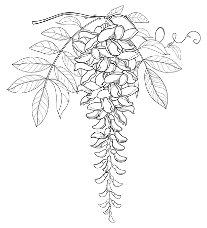Branch of outline Wisteria or Wistaria flower bunch, bud and leaf in black isolated on white background. Blooming climbing plant Wisteria in contour style for spring design or coloring book. Illustration