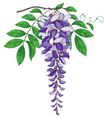 Branch of outline Wisteria or Wistaria flower bunch in pastel purple, bud and green leaf isolated on white background. Blossoming ornamental plant Wisteria in contour style for spring design.