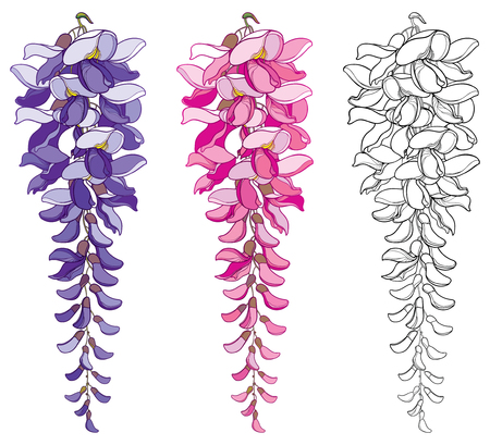 Set of outline Wisteria or Wistaria flower bunch and bud in black, pink and pastel purple isolated on white background. Blossoming climbing plant Wisteria in contour style for spring design. Stock Illustratie
