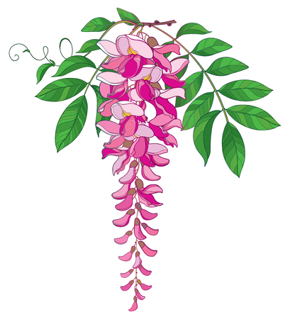 Branch of outline Wisteria or Wistaria flower bunch in pastel pink, bud and ornate green leaf isolated on white background. Blooming climbing plant Wisteria in contour style for spring design.
