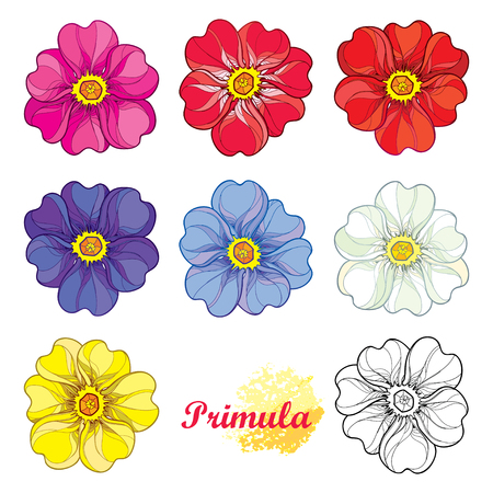 Set with outline blooming Primula or Primrose flower in pink, purple, blue, pastel white and yellow isolated on white background. Blossom of ornate Primula in contour style for spring design. Imagens - 100787299
