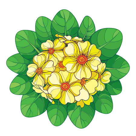 Bouquet with outline Primula or Primrose flower in yellow and green foliage isolated on white background. Round composition with blooming Primula in contour style for spring design.