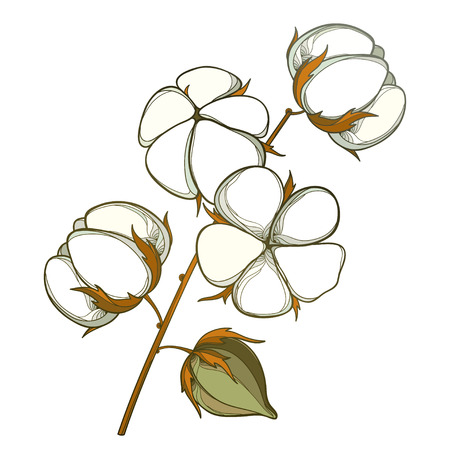 Stem with outline Cotton boll with leaf and capsule in white and brown isolated on white background.