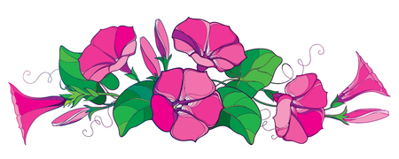 Horizontal bunch with outline Ipomoea or Morning glory flower bell in pastel pink, green leaf and bud isolated on white background. Perennial climbing plant in contour style for summer design.