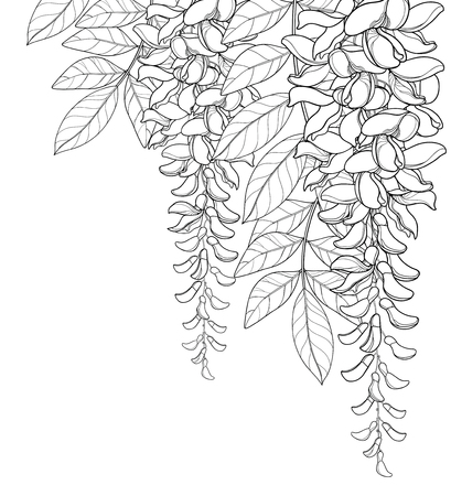 Corner bouquet of outline Wisteria or Wistaria flower bunch, bud and leaf in black isolated on white background. Blossom climbing plant Wisteria in contour for spring design or coloring book.