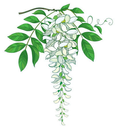 Branch of outline Wisteria or Wistaria flower bunch in pastel white, bud and ornate green leaf isolated on white background. Blooming climbing plant Wisteria in contour style for spring design.
