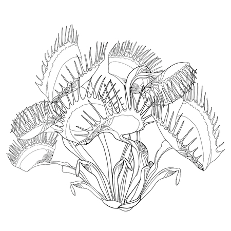 Drawing of Venus Flytrap or Dionaea muscipula with open and close trap in black isolated on white background. Carnivorous plant Venus flytrap in contour for botany design or coloring book. Illustration