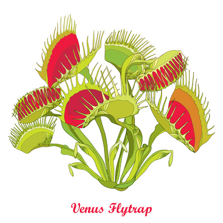Drawing of Venus Flytrap or Dionaea muscipula with open and close trap in red and green isolated on white background. Carnivorous tropical plant Venus flytrap in contour for botany design. 矢量图像