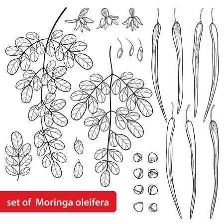 Set of Moringa oleifera or Horseradish plant outline vector illustration
