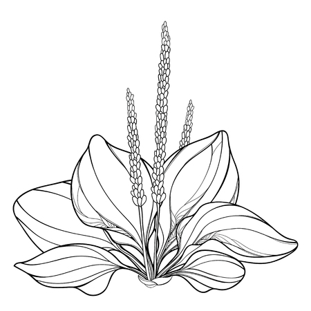 Outline Plantago major or Plantain bunch of leaves and seed isolated on white background. Medicinal perennial herbs Plantain in contour style for summer design and coloring book.