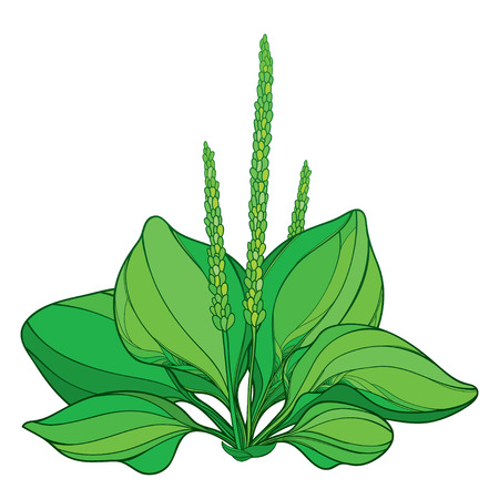 Outline Plantago major or Plantain rosette of ornate leaves and seed in green isolated on white background. Medicinal perennial herbs Plantain bunch in contour style for summer design. Illustration
