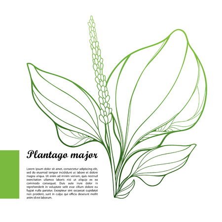 Plantago major or Plantain rosette of ornate outline leaves and seed in pastel green isolated on white background. Medicinal perennial herb Plantain bunch in contour style for summer design.