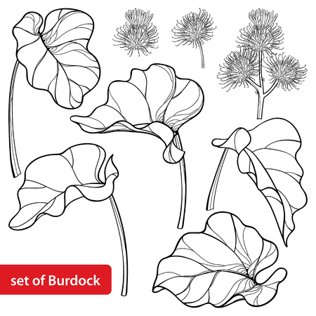 Set of outline greater Burdock or Arctium lappa, leaf and bur or seed isolated on white background. Medicinal and cosmetic herb Burdock in contour for summer design or coloring book.