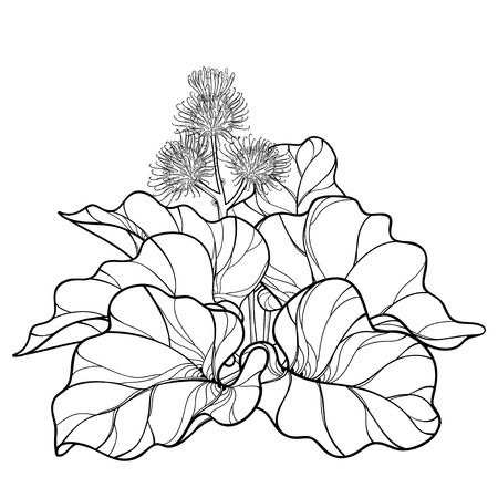 Bunch of outline Burdock or Arctium lappa, leaf and bur or seed isolated on white background. Medicinal and cosmetic herb Burdock in contour for summer design or coloring book. Vectores