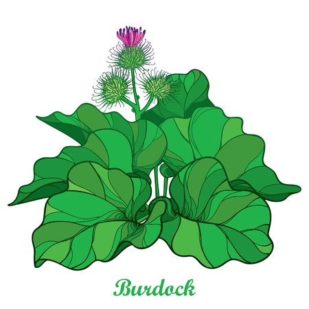 Bush of outline Burdock or Arctium lappa, leaf and bur or seed isolated on white background. Medicinal, cosmetic, edible herb Burdock in contour for summer design.
