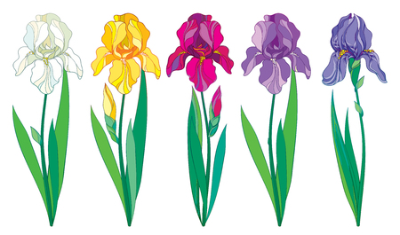 Set with outline purple, lilac, yellow and pastel white Iris flower, bud and leaves isolated on white background. Ornate Irises for spring or summer design in contour style.