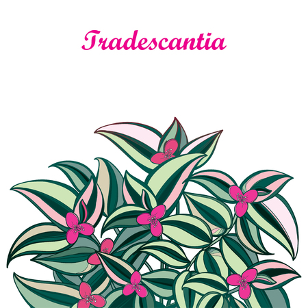 Bouquet with outline Tradescantia or Inch plant or Wandering Jew flower. Pink flower and striped green leaf isolated on white background. Decorative houseplant in contour for summer design.