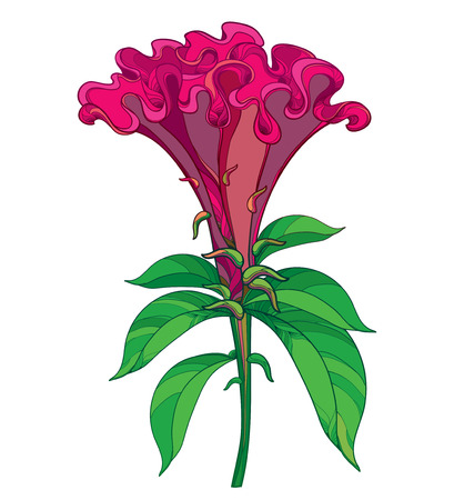 Outline red Celosia crisrtata or Cockscomb flower and ornate green leaves isolated on white background. Annual flowering ornamental plant in contour style for summer design. Ilustração