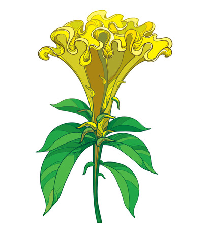 Outline yellow Celosia crisrtata or Cockscomb flower and ornate green leaves isolated on white background. Annual flowering ornamental plant in contour style for summer design.