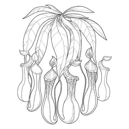 Drawing of outline Nepenthes or monkey-cup with open trap in black isolated on white background. Carnivorous tropical pitcher plant Nepenthes in contour for botany design or coloring book.