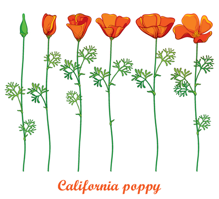 Set with outline orange California poppy flower or California sunlight or Eschscholzia, green leaf and bud isolated on white background. Contour ornate poppies for summer design.