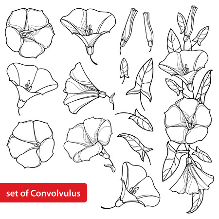 Set with outline Convolvulus or Bindweed flower bell, bunch, leaf and bud in black isolated on white background. Perennial climbing plant in contour style for summer design and coloring book. Ilustração Vetorial