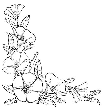 Corner bouquet with outline Convolvulus or Bindweed flower bell, leaf and bud in black isolated on white background. Climbing contour Bindweed flower for summer design or coloring book. Çizim