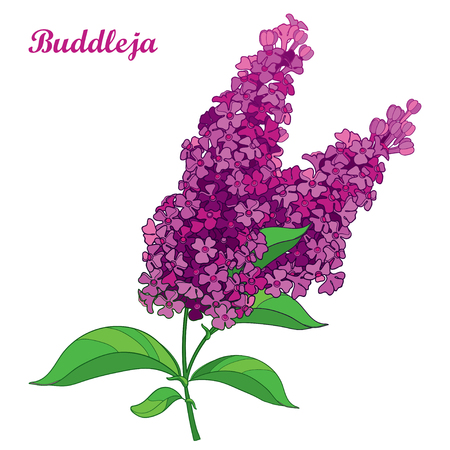 Branch with outline pink Buddleja or butterfly bush flower bunch and ornate leaf isolated on white background. Blooming plant Buddleja in contour style for summer design.