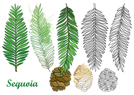 Branch with outline Sequoia or California redwood on the pastel green textured background. Bunch of coniferous tree with pine and cones in contour style for botanical design.
