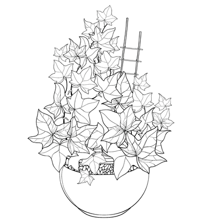 Bunch of outline Ivy or Hedera vines in flower pot. Ornate leaves of Ivy bunch in black isolated on white background. Perennial climbing plant in contour for summer design or coloring book.