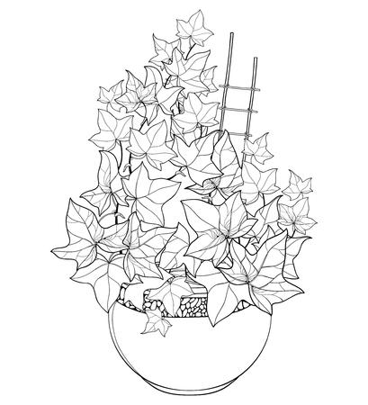 Kilka konspektu winorośli Bluszcz lub Hedera w doniczce. Ozdobne liście kiści bluszczu na czarno na białym tle. Wieloletnia roślina pnąca w konturze do letniego projektu lub kolorowanka. Ilustracje wektorowe