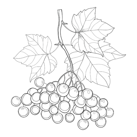 Drawing of outline branch Viburnum or Guelder rose, ornate leaves and berry bunch in black isolated on white. Viburnum berry and foliage in contour style for autumn design or coloring book.